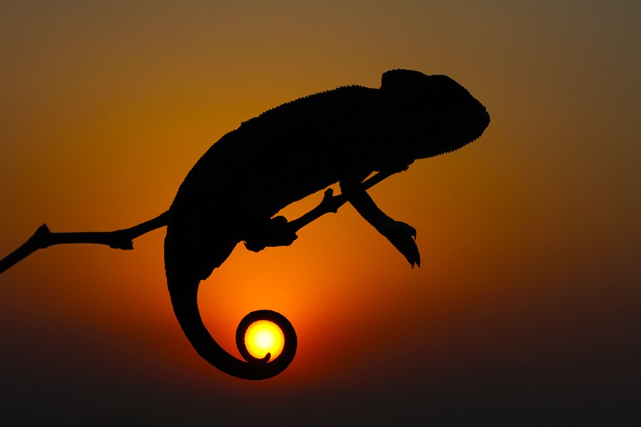 nature,animals,chameleon,sun,sunset,animal,canon,wildlife, mehmet