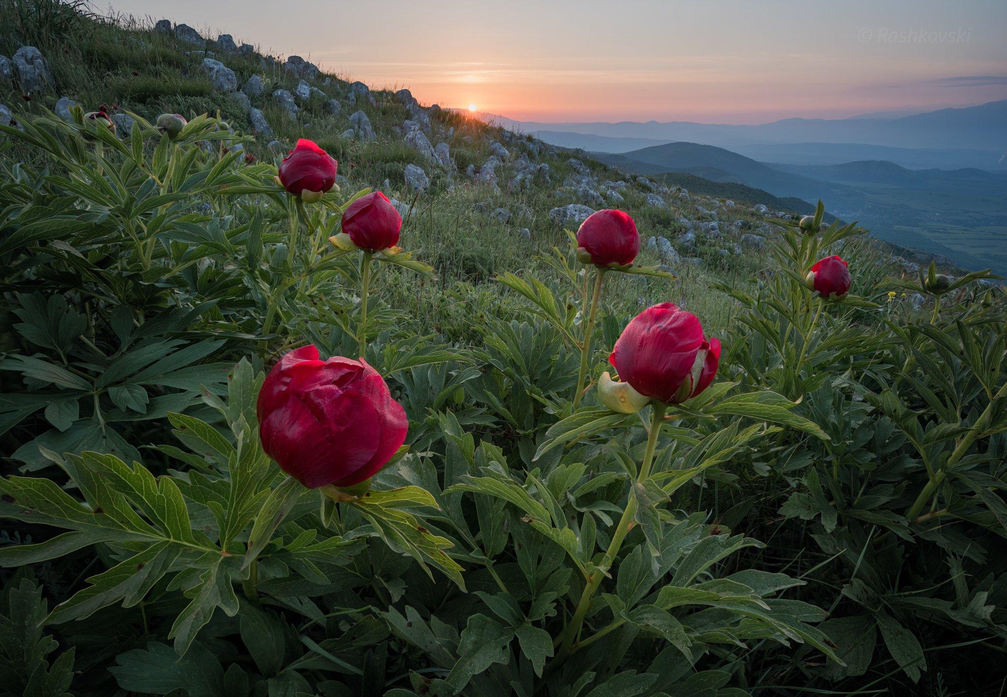 flower, mountain, Емил Рашковски