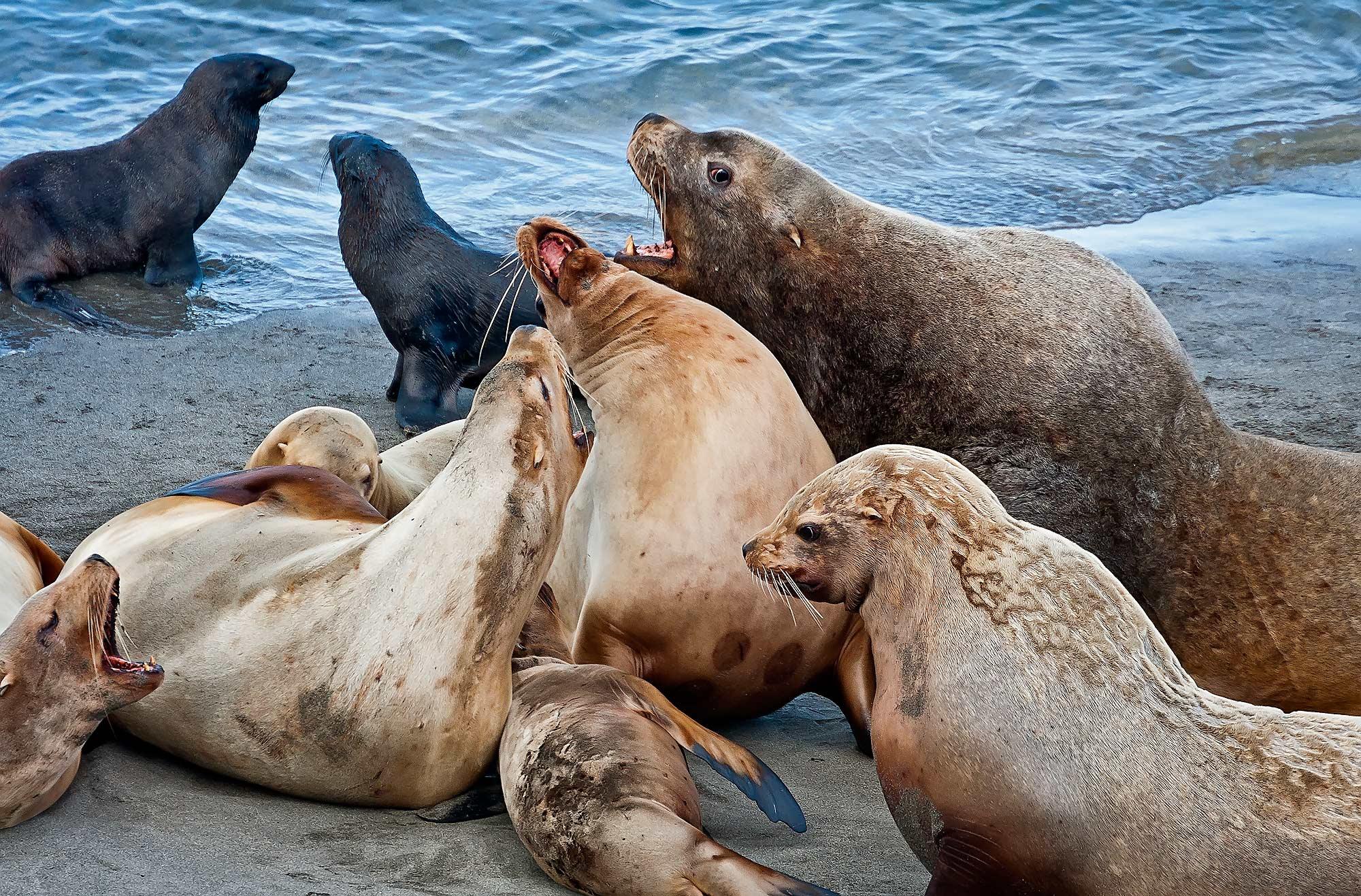 сивучи; eumetopias jubatus; млекопитающие; ластоногие; тюлени ушастые; тихий океан; морские млекопитающие; остров беринга; командорские острова; командоры, Дмитрий Уткин
