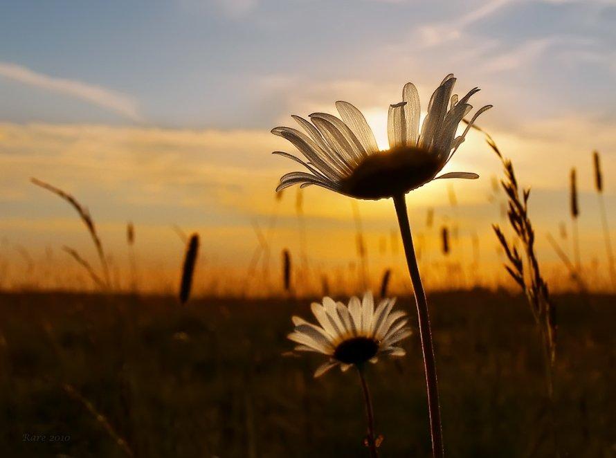 закат, солнце, ромашки., Раиса Rare