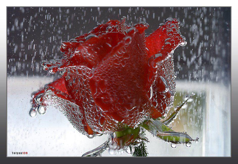роза, дождь, tolyan139