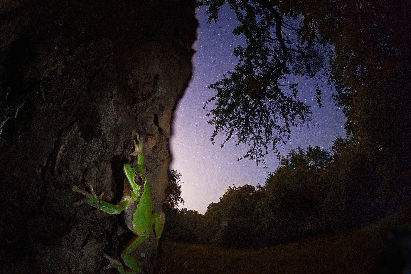 квакша, ночь, звезды, дерево, лягушка, Никифоров Егор