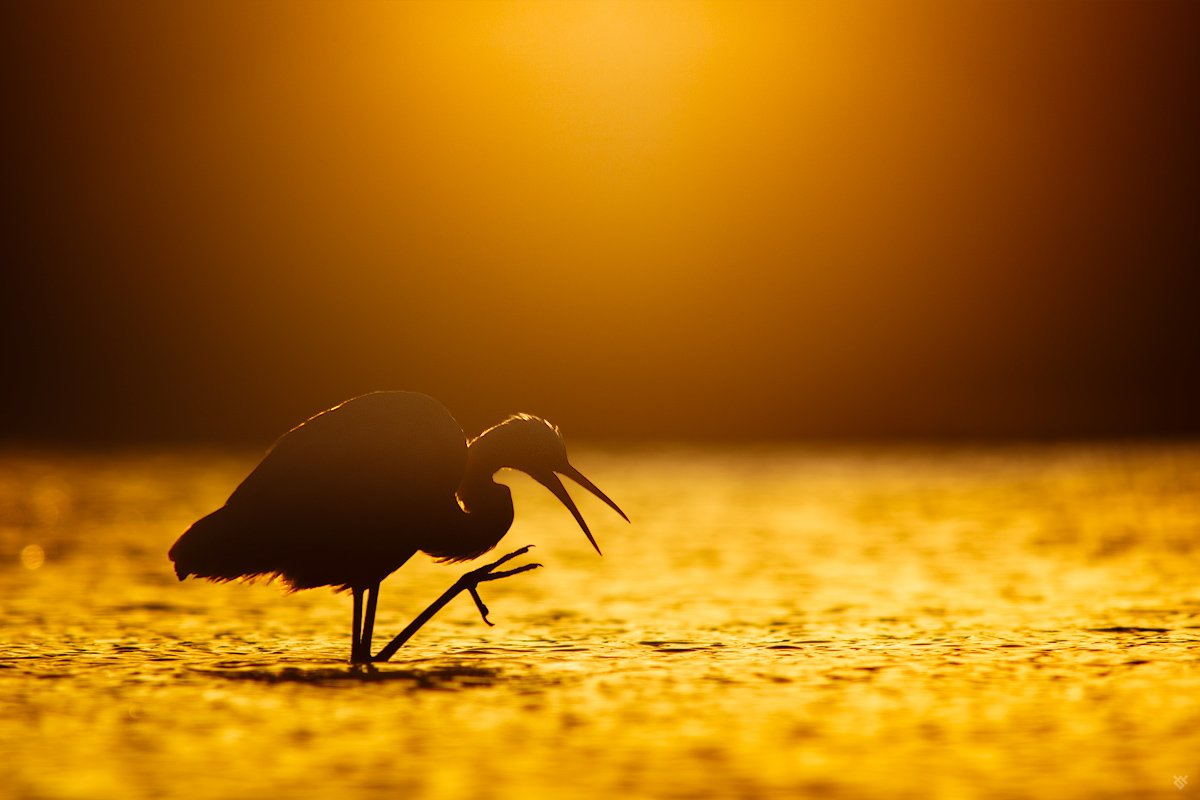 bird, wildlife, morning, sunrise, Ardea alba, Great egret, Wojciech Grzanka