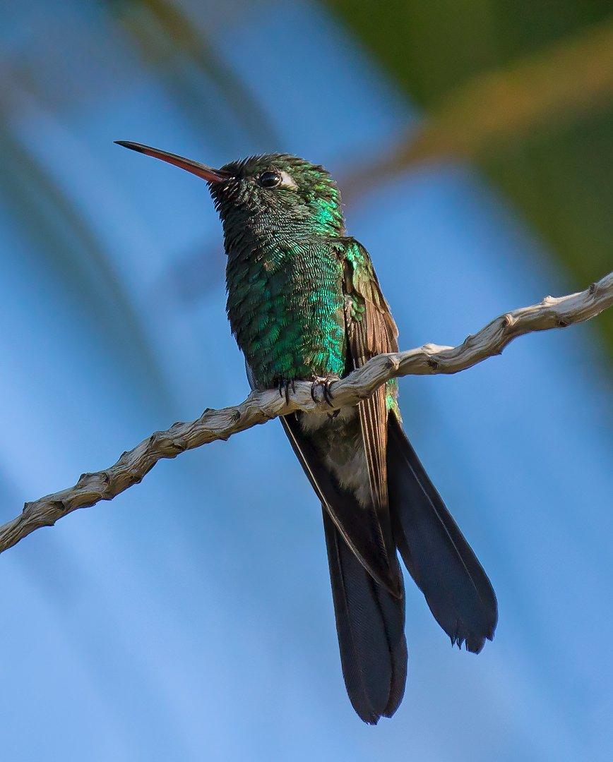 cuban emerald, hummingbird, cuba, кубинский изумрудный колибри, куба, G A S