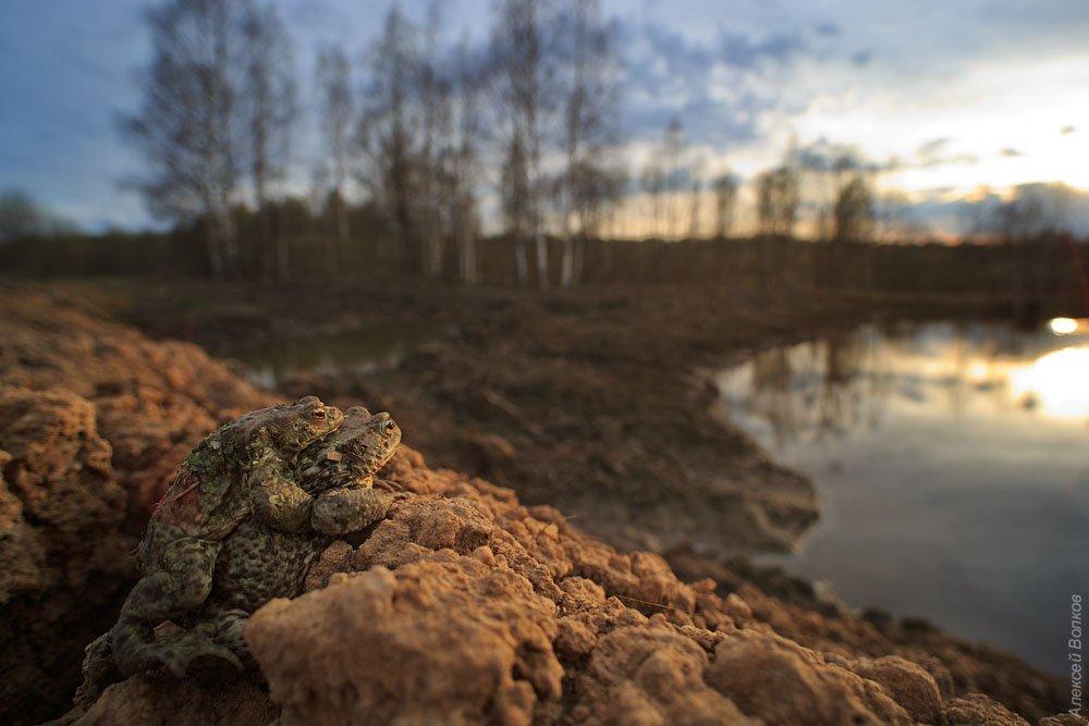 жаба, bufo bufo, природа, амфибия, земноводное, Алексей Волков