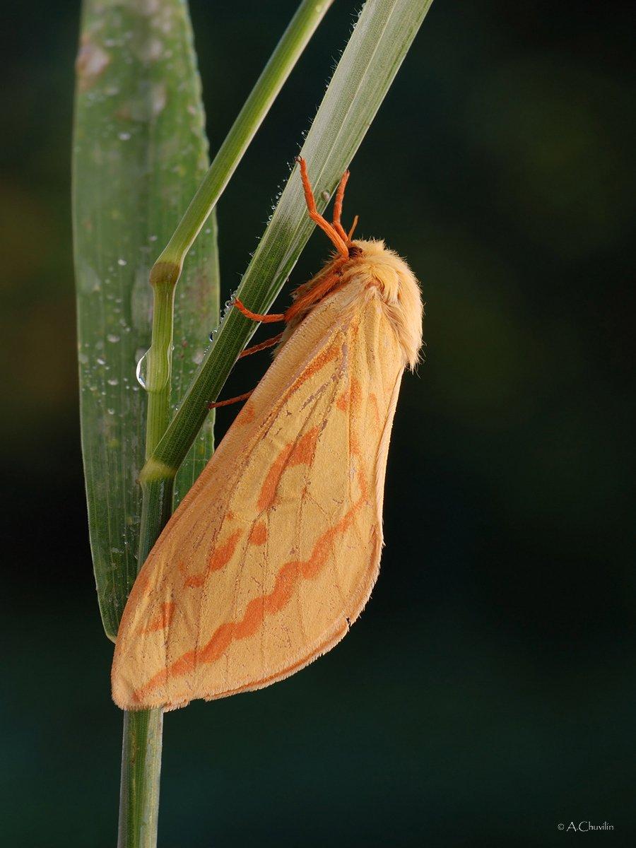 тонкопряд хмелёвый бабочка, Александр Чувилин