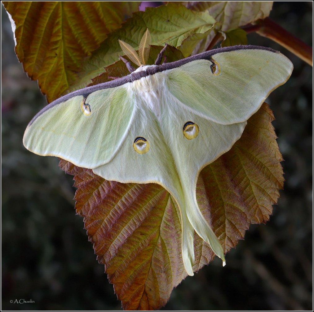 павлиноглазка actias luna, Александр Чувилин