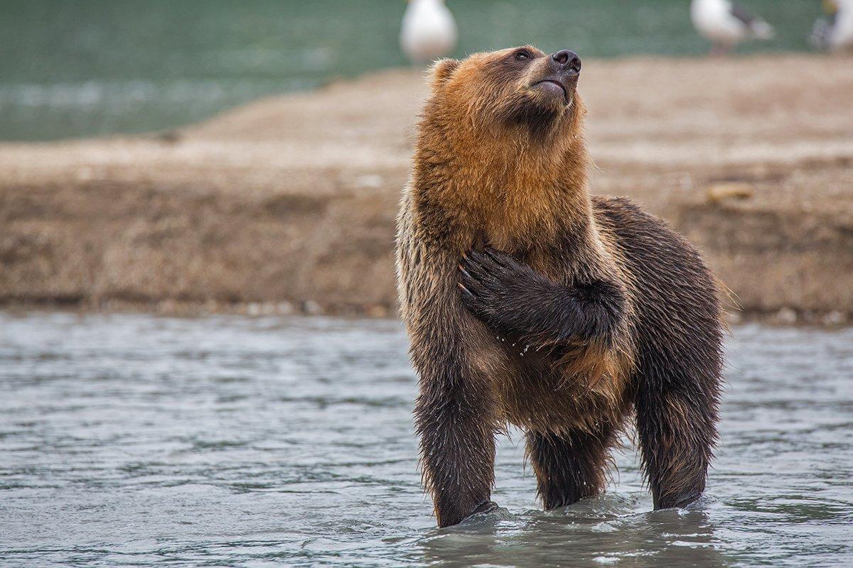 камчатка, медведь, курильское, озеро, природа, животные, путешествие, фототур,, Денис Будьков