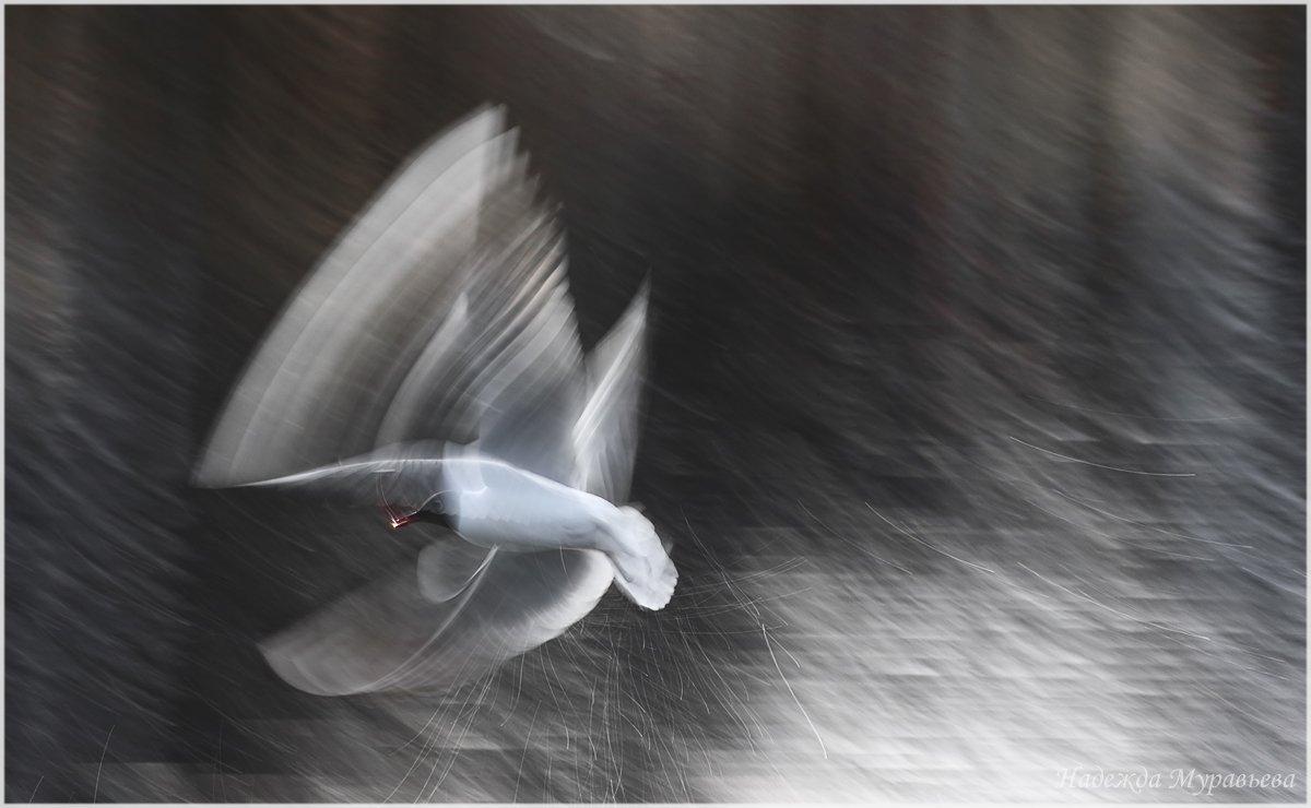 larus ridibundus, озёрная чайка, Надежда Муравьёва