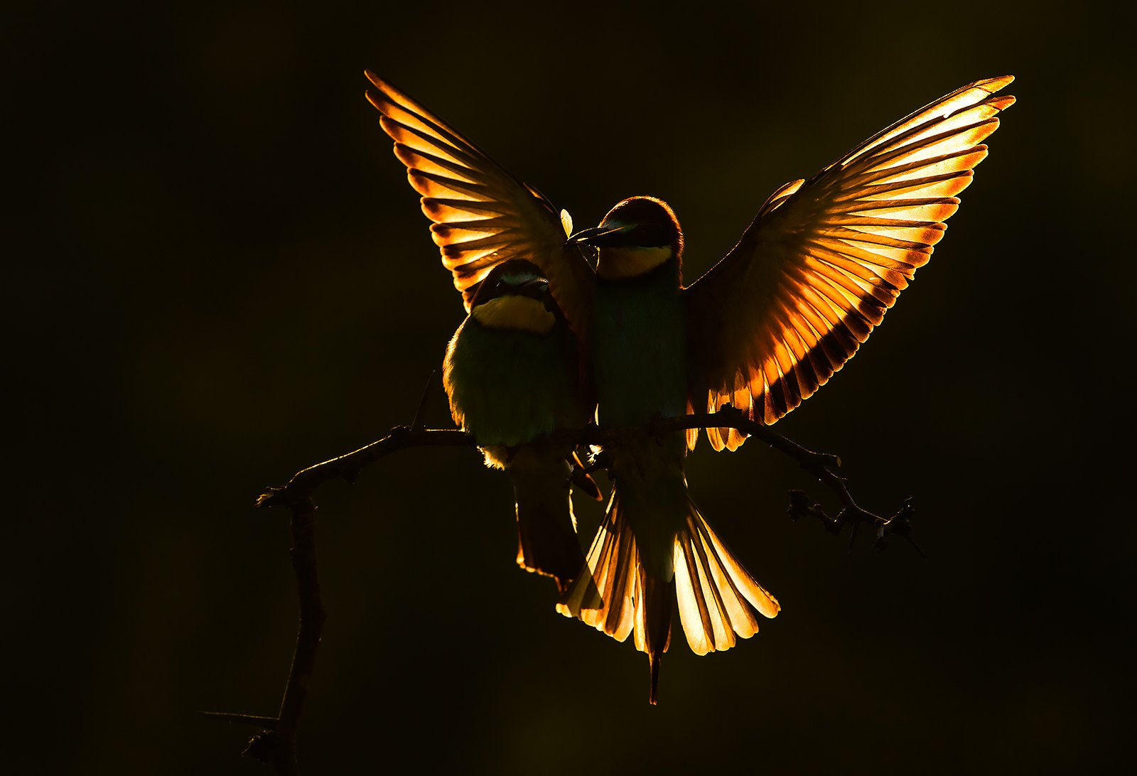 bee-eater wildlife photography nature, Radoslav Tsvetkov