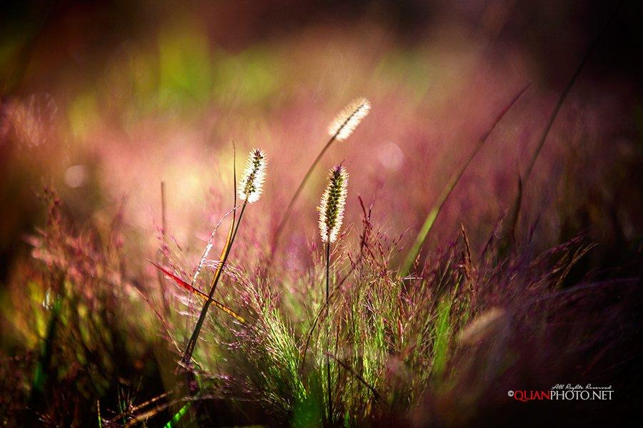 #quanphoto,#nature,#morning,#sunshine,#wild,#grass,#bokeh,#vietnam, quanphoto