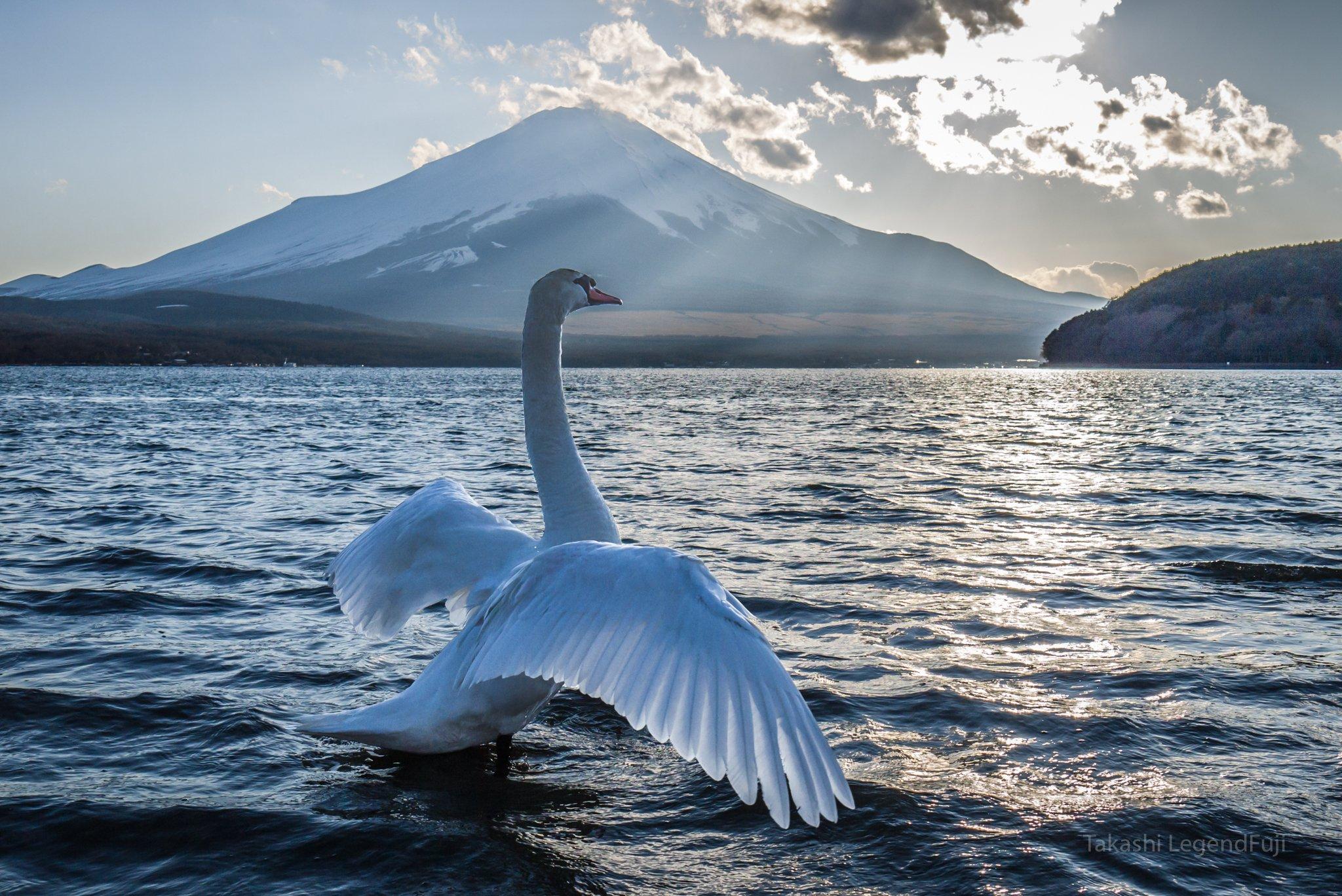 fuji,mountain,Japan,lake,water,swan,, Takashi