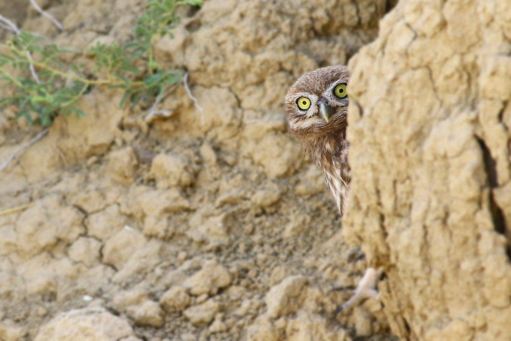 little,owl,birds,northcyprus,wildlife,nature, Hasan Baglar