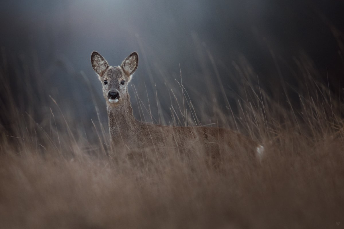 roe deer, wildlife, doe, Wojciech Grzanka