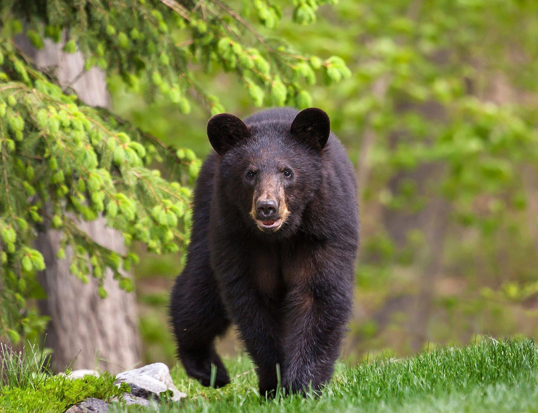 животные,медведи,барибал,природа,лето,фауна,, Антонина