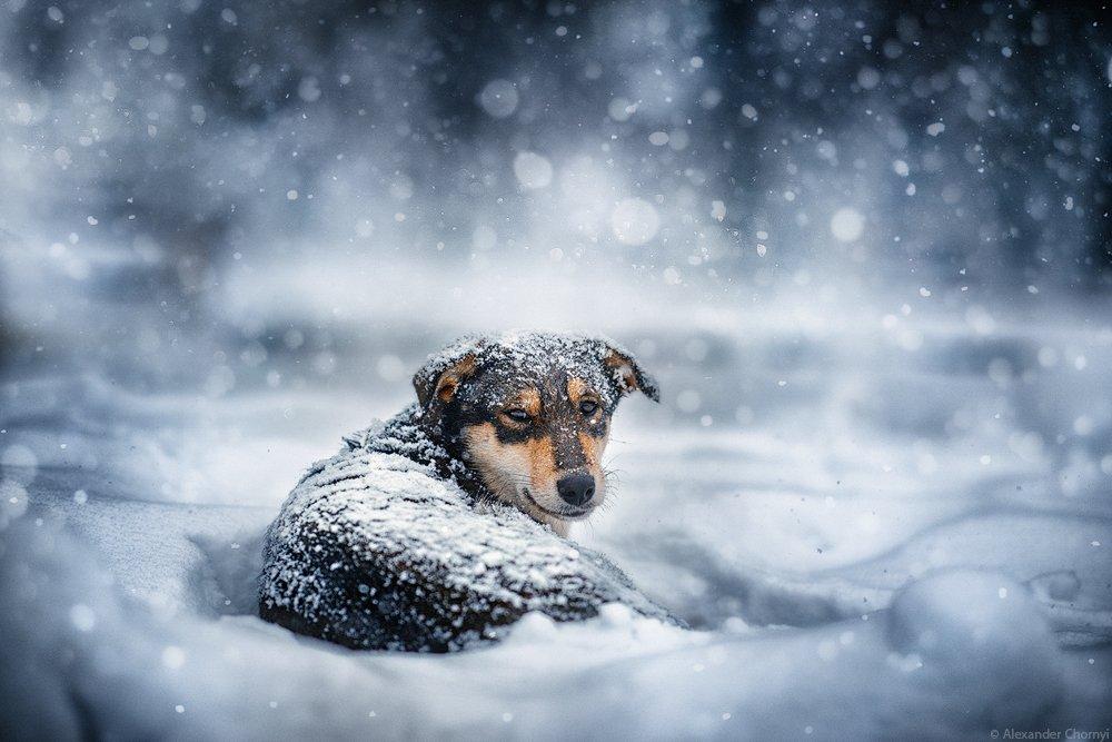 украина, коростышев, зима, снег, собака, пес, одинокий, холод,, Александр Чорный