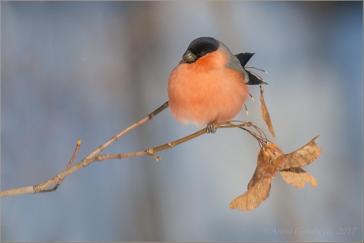 птицы, pyrrhula pyrrhula, природа, снегирь, самец, зима, январь, мороз, 2016, москва, куркино, Анна Голубева