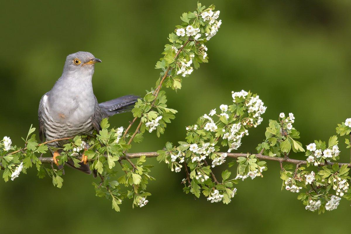 animals ,nature ,bird., olesniczanin