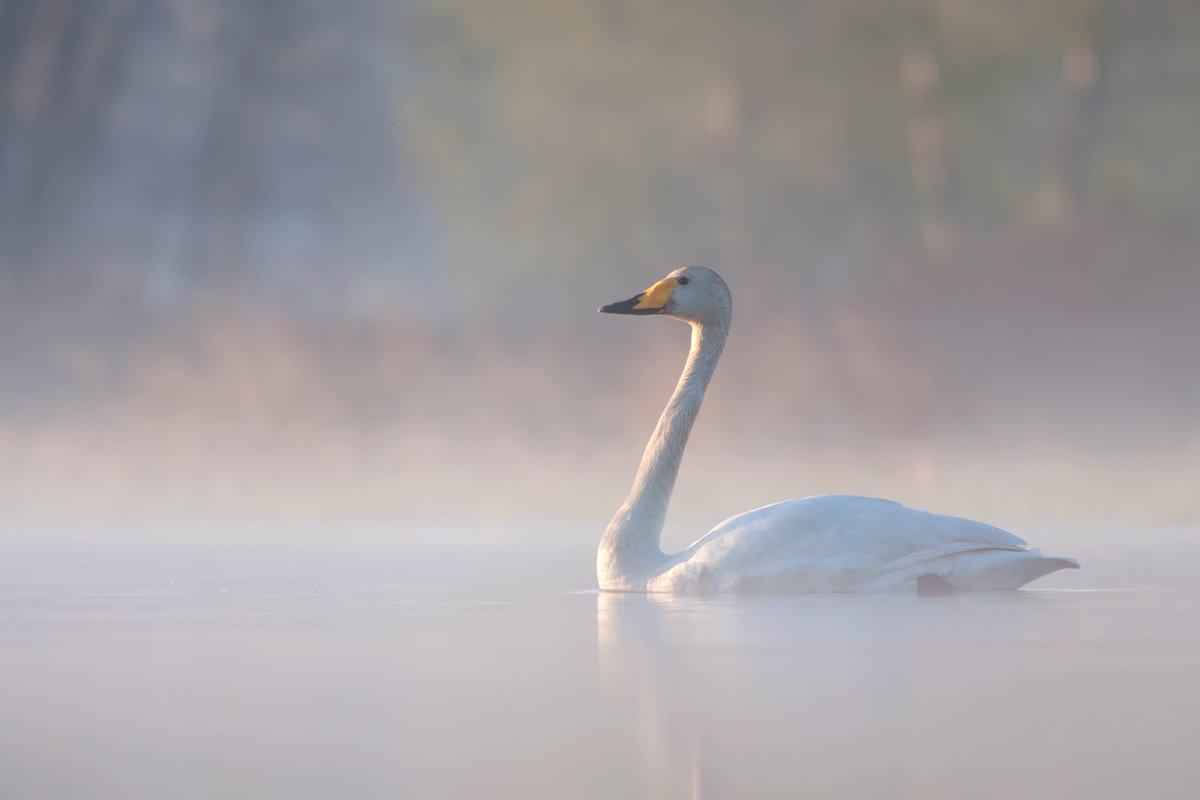 nature,animals,bird., olesniczanin
