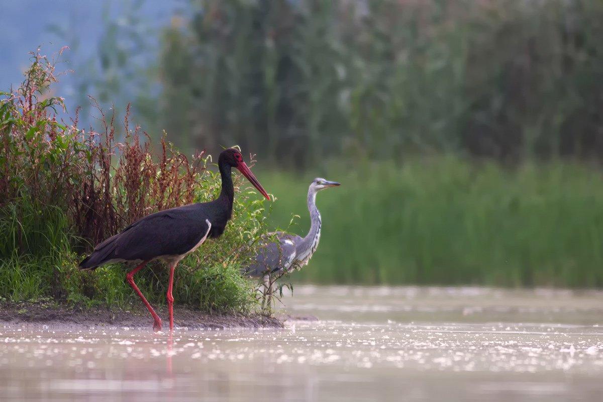 animals.nature,bird., olesniczanin