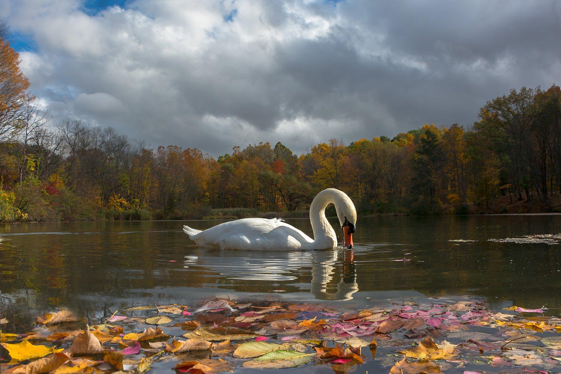 фотоохота, лебеди,животные,птицы,природа,пейзаж,фауна,осень,листья,озеро,, Антонина