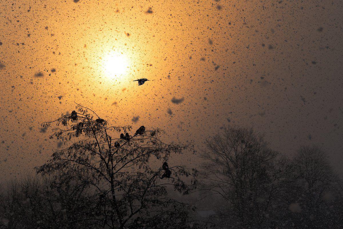rook, wildlife, birds, Wojciech Grzanka