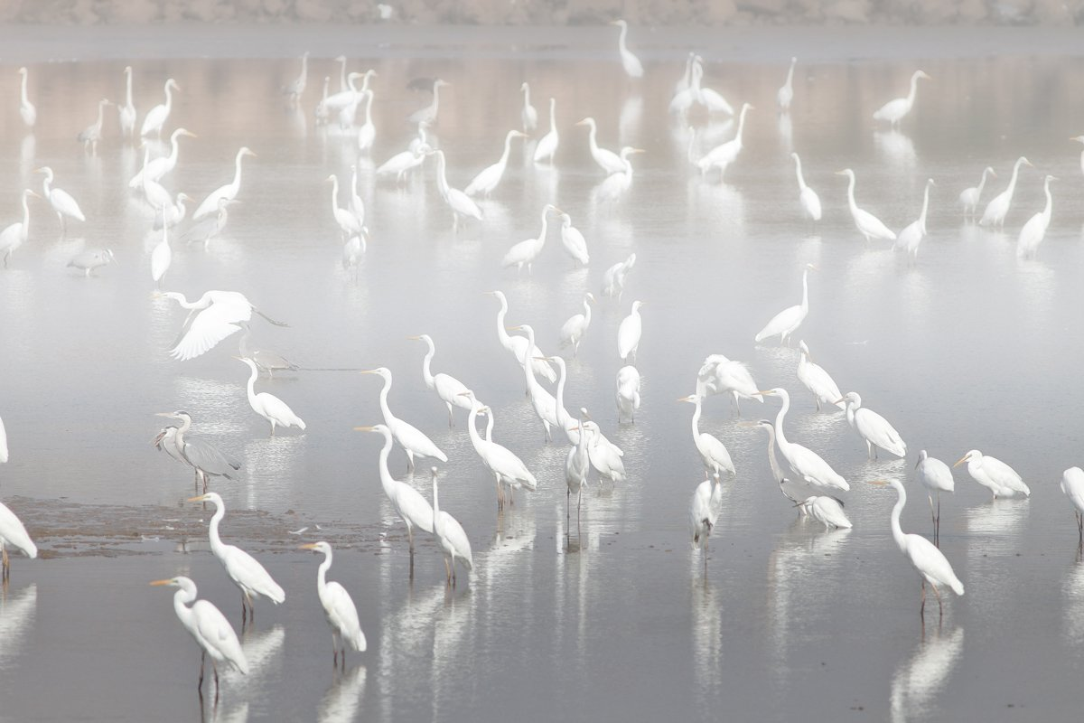 animals,birds,herons,fish,lake, 7d, 400mm, животные,птицы,рыба,цапли,озеро, Yuri Gomelsky