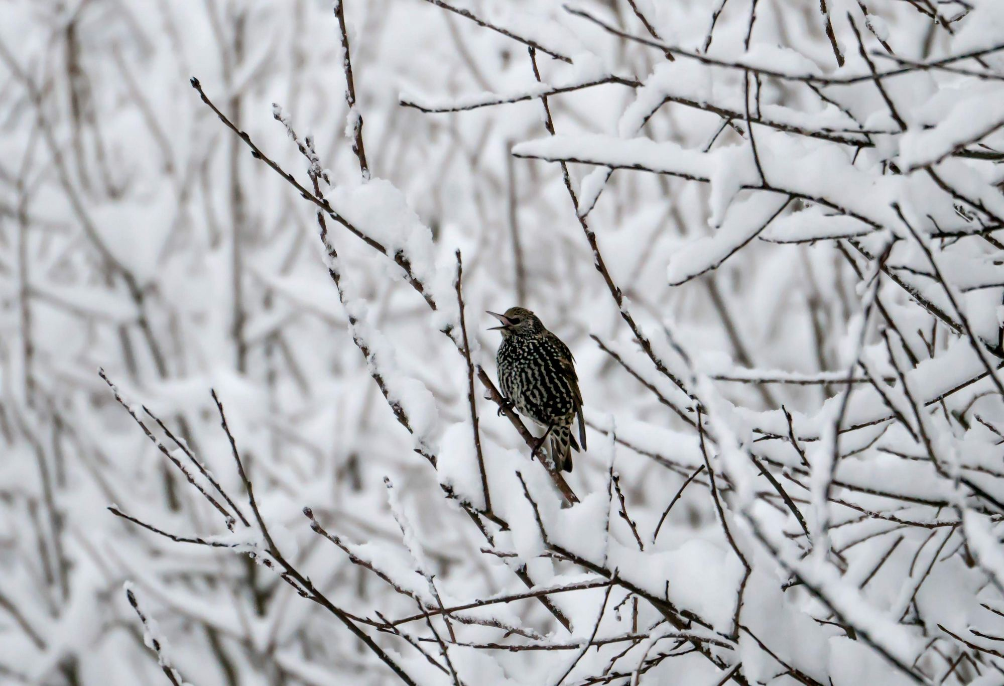 фото скворцов зимой