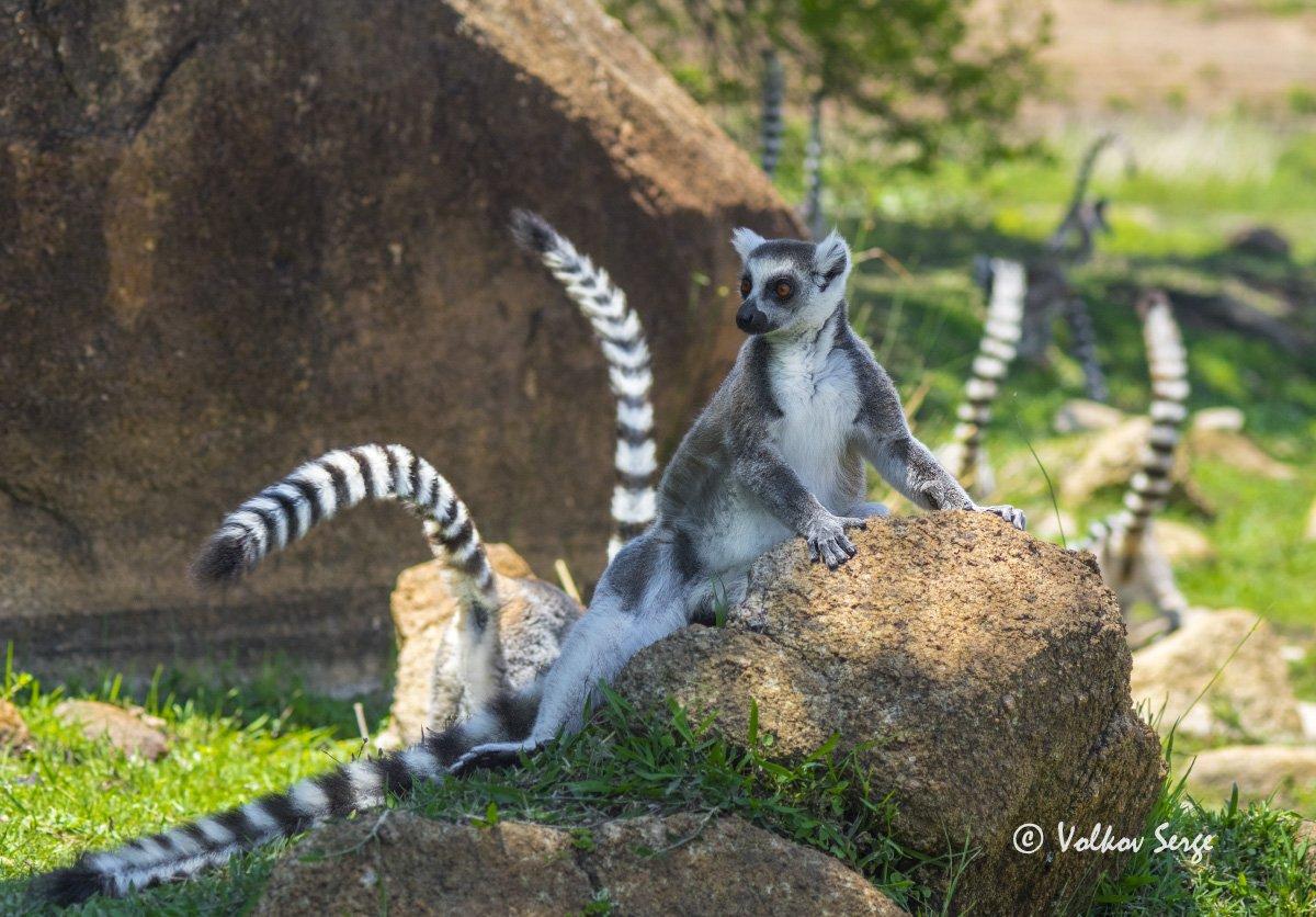 lemur catta, кошачий лемур, ring-tailed lemur, дикая природа, дикие животные, мадагаскар, фотоохота, Сергей Волков