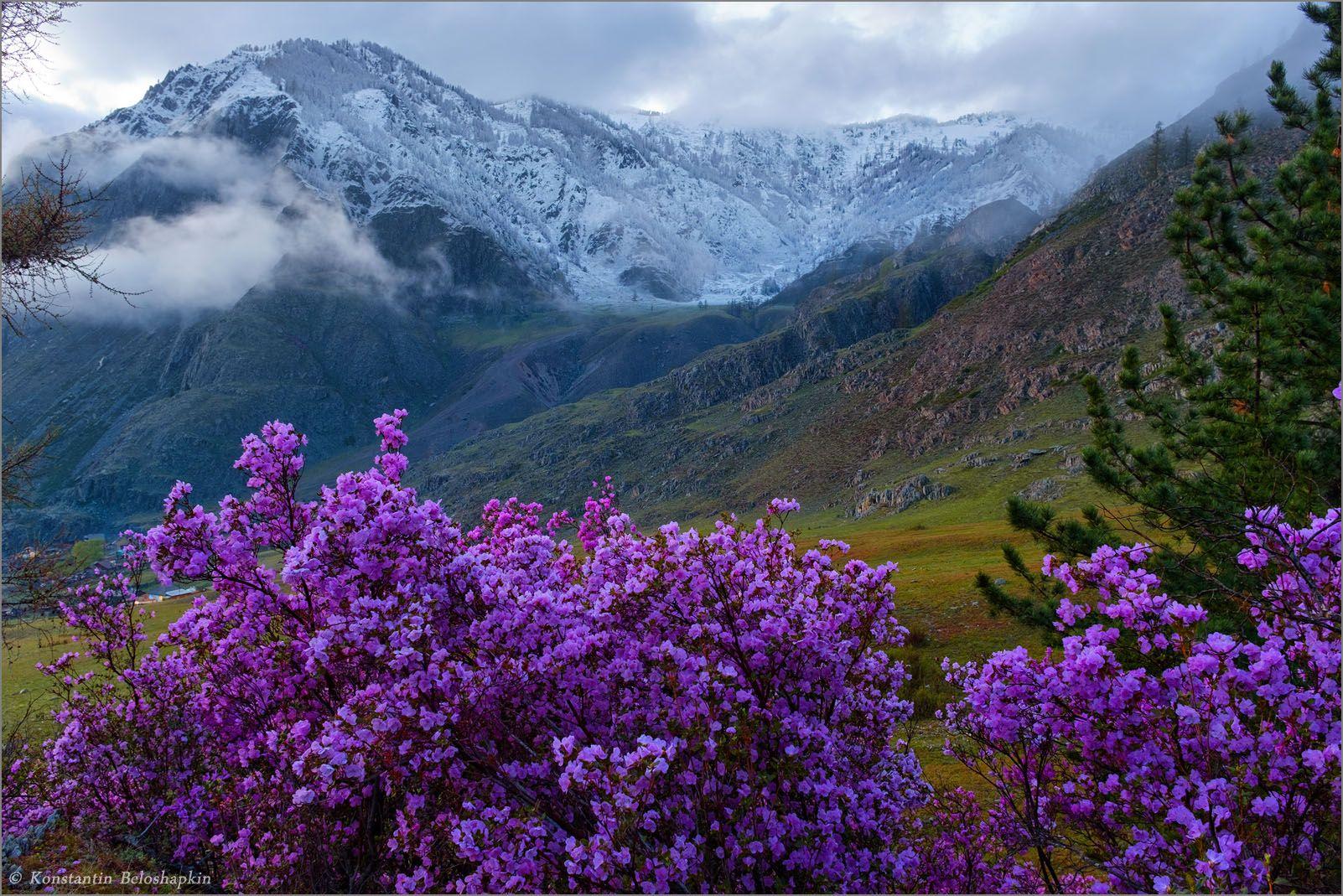 алтай, горы, вечер, весна, рододендрон ледебура, маральник, иодро, Константин Белошапкин