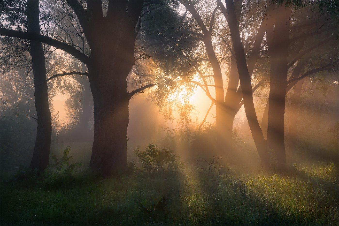 утро, лес, туман, лучи, Александр Киценко
