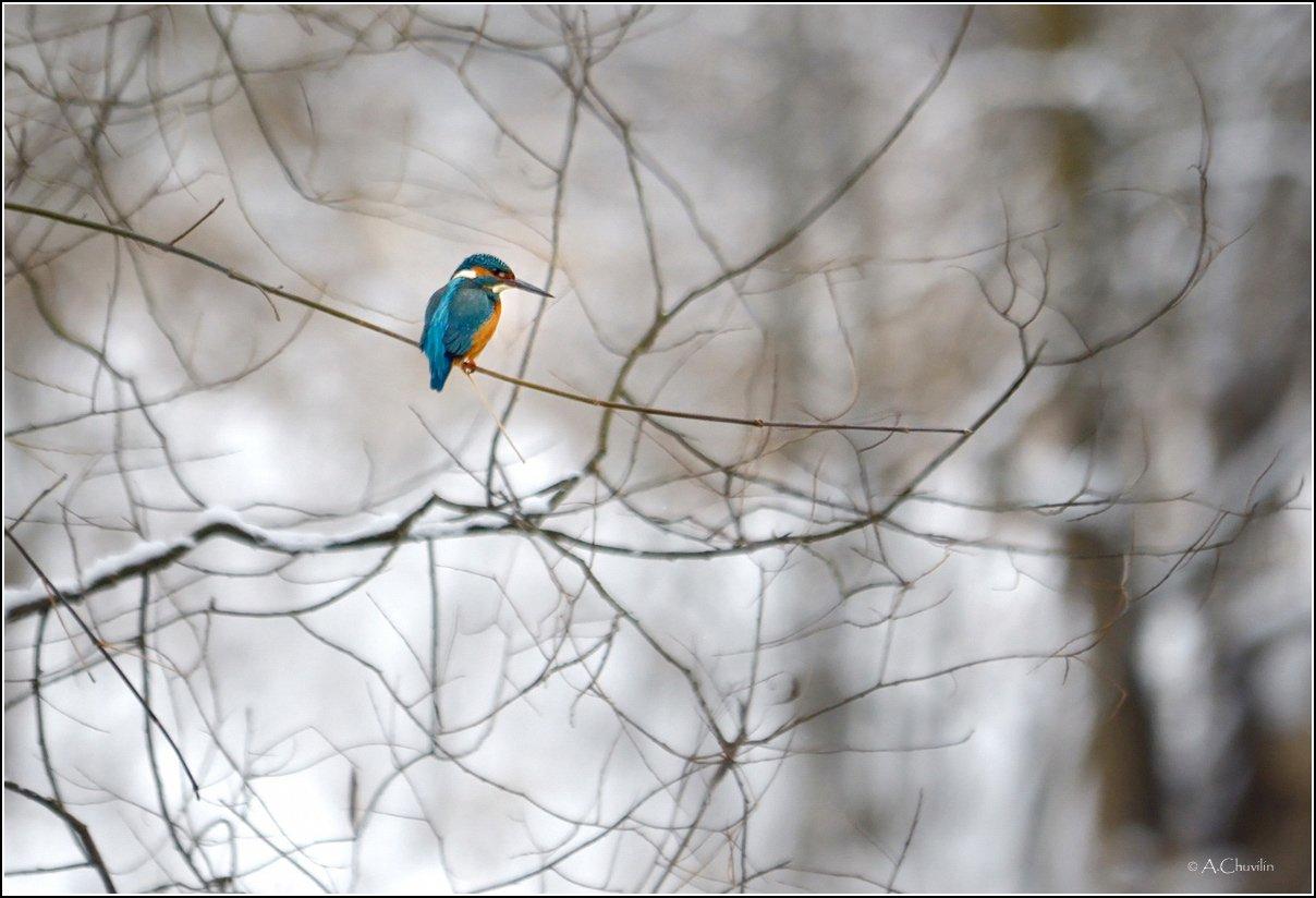 зимородок зима лес декабрь, Александр Чувилин