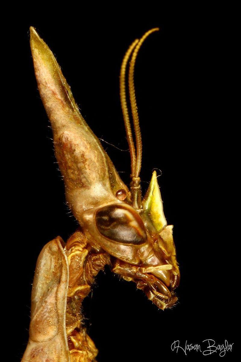 empusa, mantis, potrait, macro, allien, Hasan Baglar