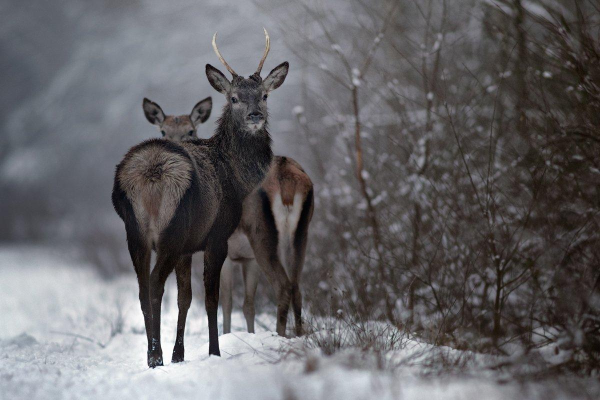 deer, wildlife, forest, winter, Wojciech Grzanka