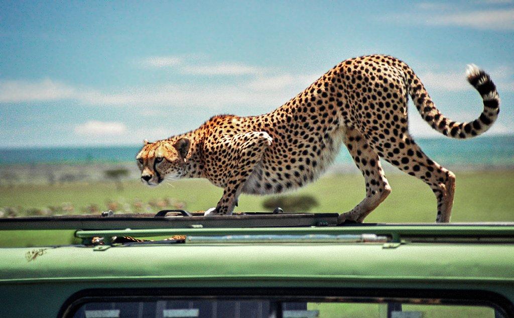 cheetah, Родислав Дрибен