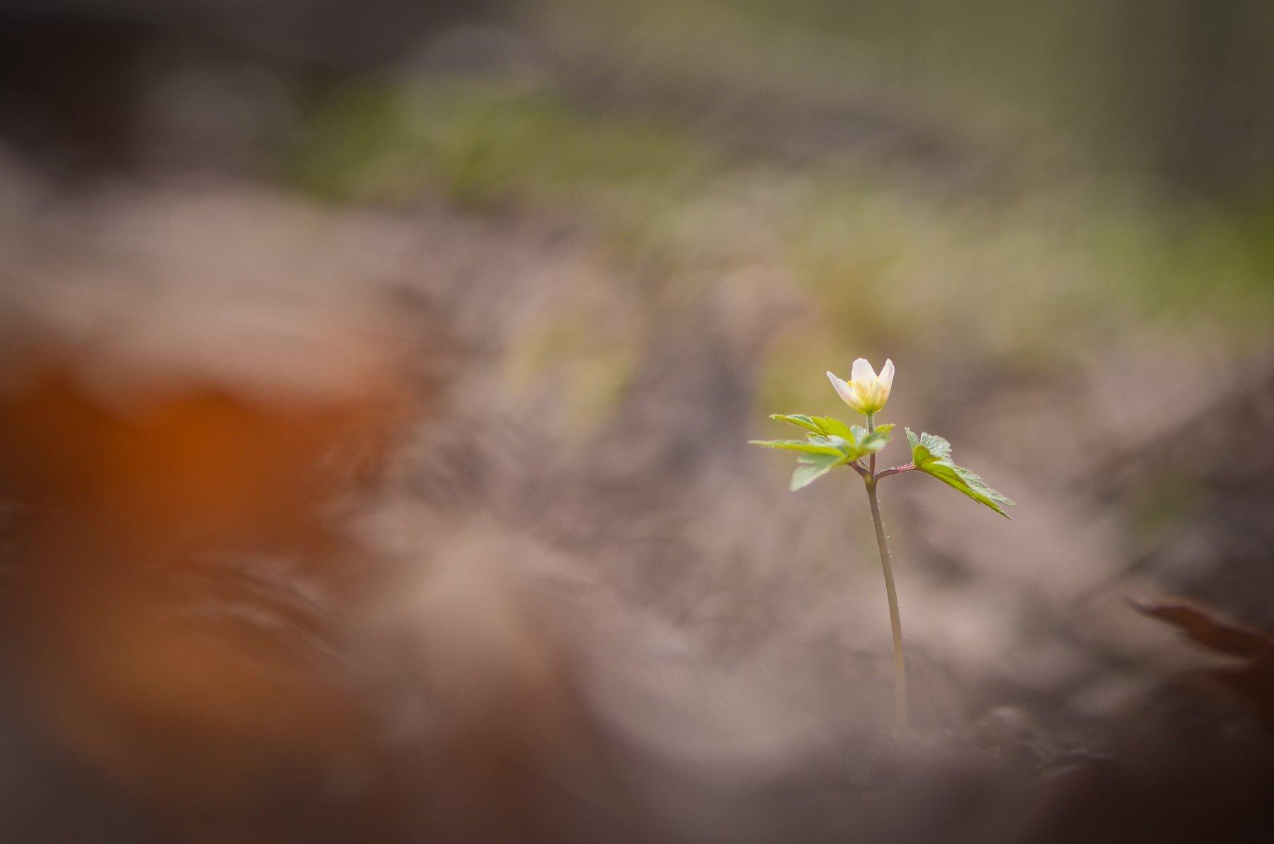 весна, цветы, ветреница, лес, поляна, Марина Мищенко