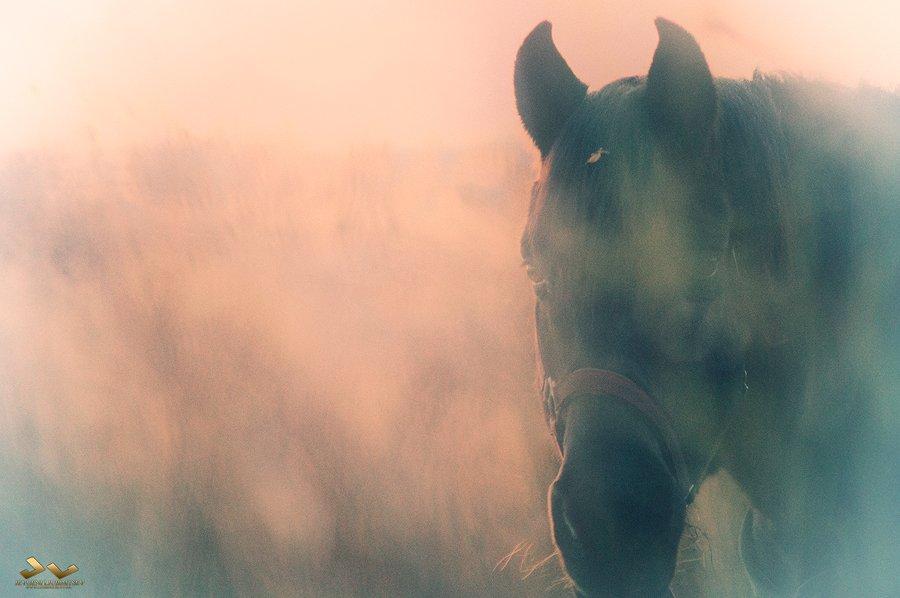 лошадь, hotse, mist, туман, Jevgeni Ljubimtsev