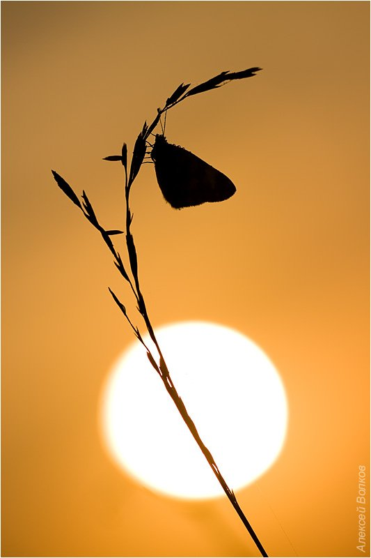 бабочка, утро, солнце, восход, травинка, память, Amazon-san
