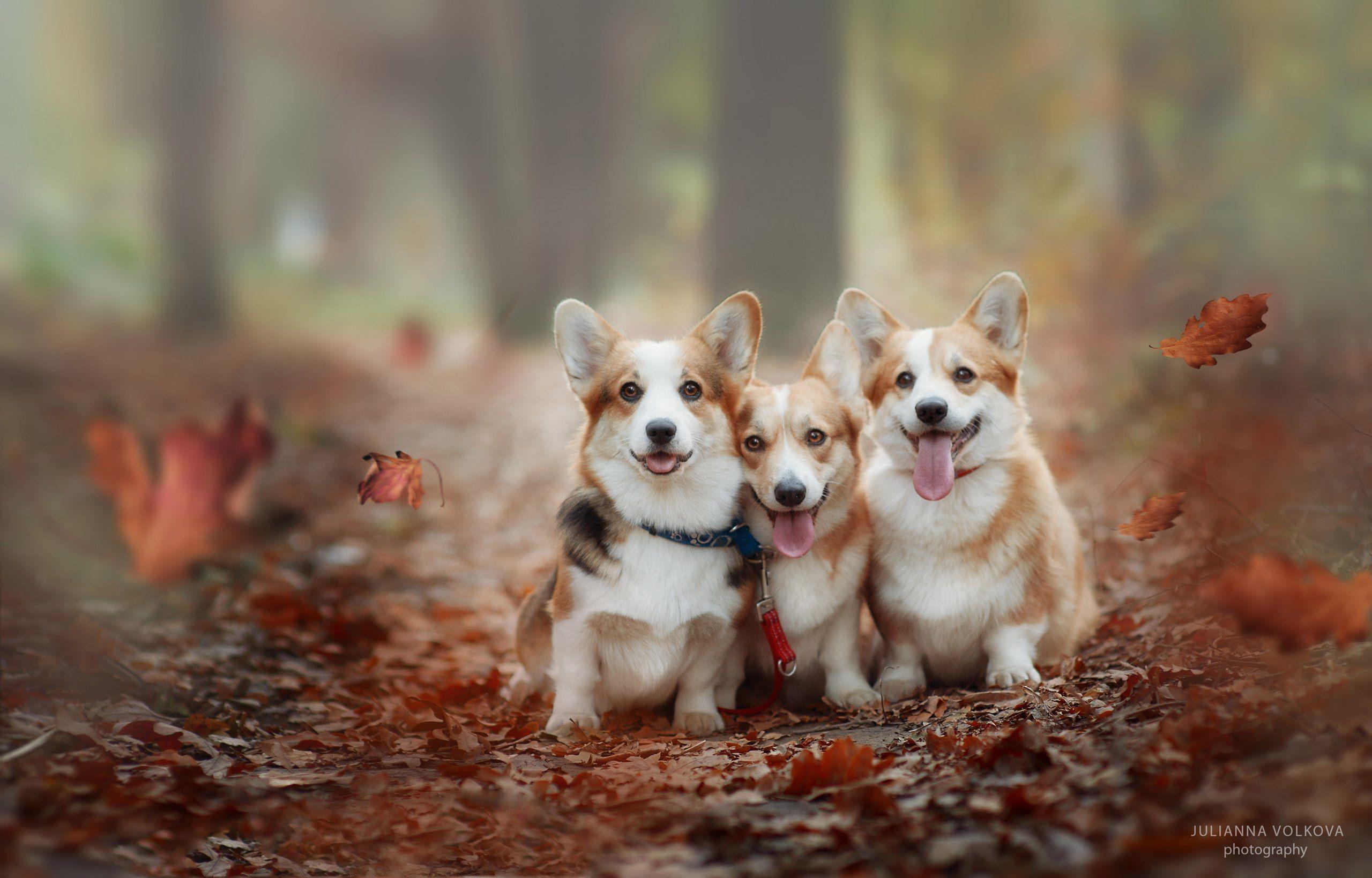 собаки, вельш-корги пемброк, парк, осень, Волкова Юлианна