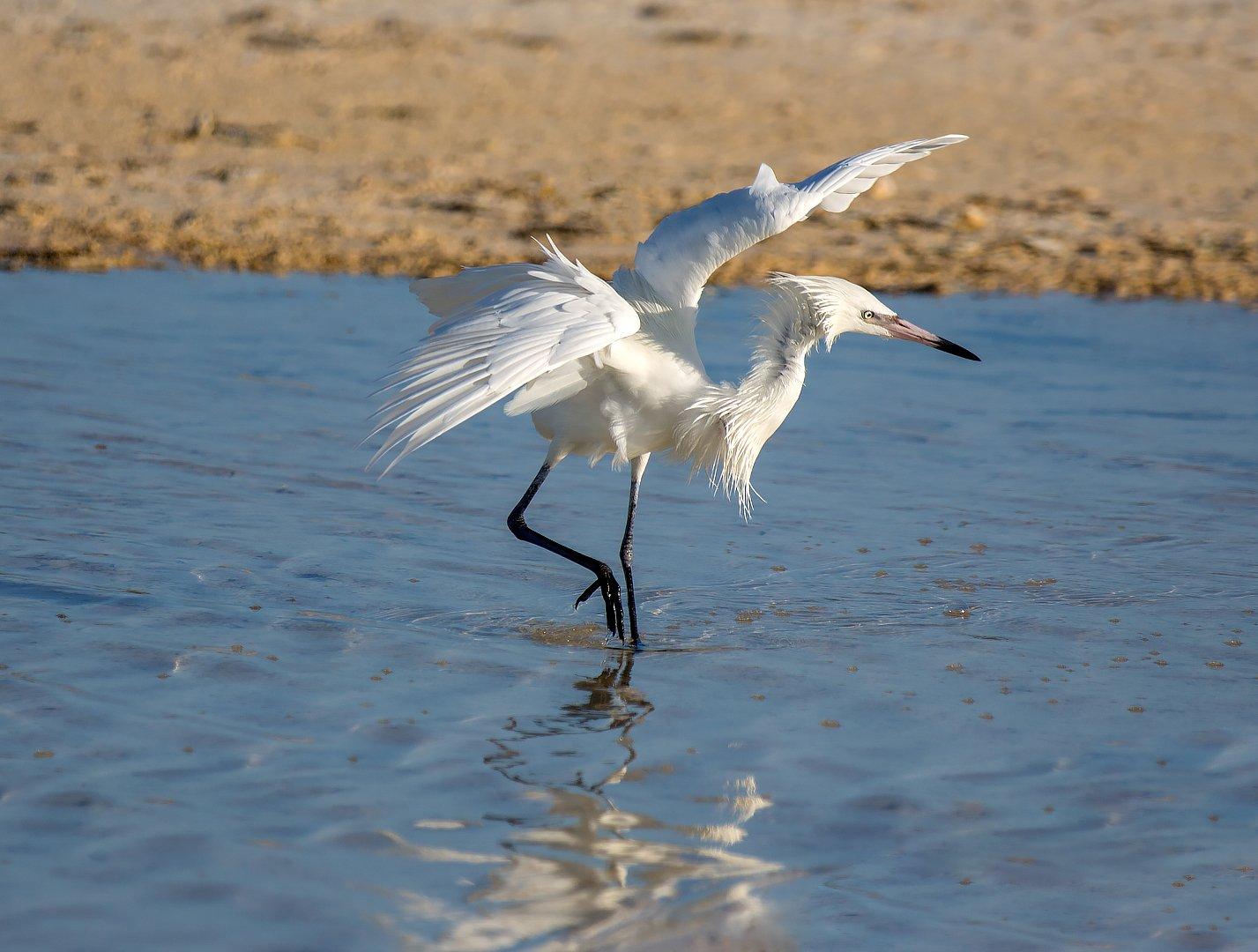 little egret , cuba, dance, малая белая цапля, куба, танец, G A S