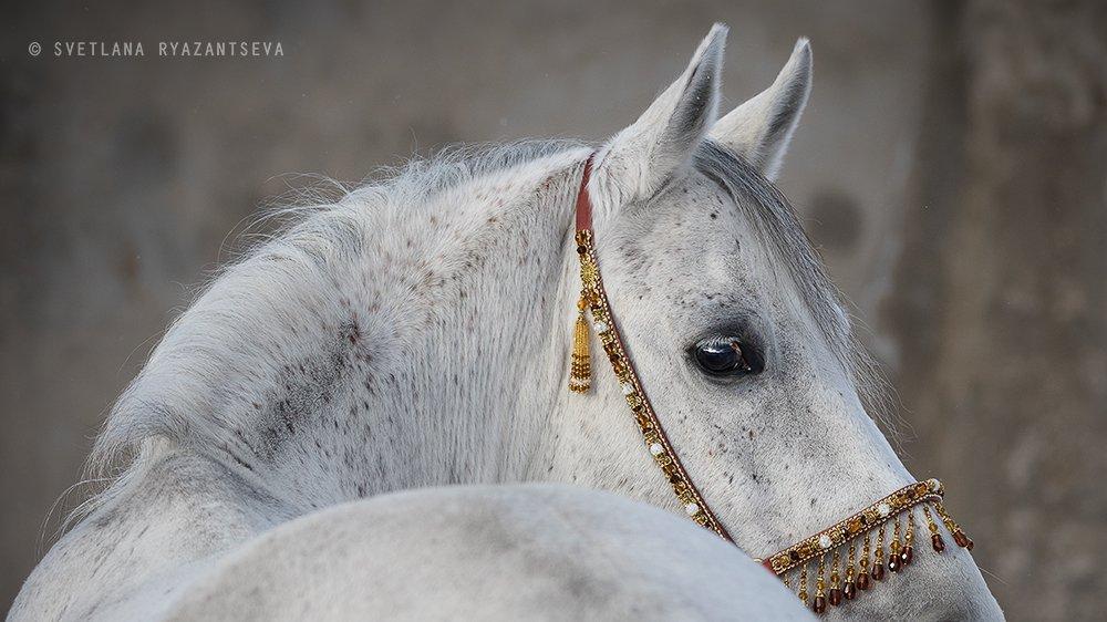 animal, arab, arabian, back, beautiful, breed, closeup, eye, grey, head, horse, isolated, look, portrait, purebred, stallion, white, лошадь, лошади, портрет, серый, серая, чистокровный, арабская, арабский, Svetlana Ryazantseva