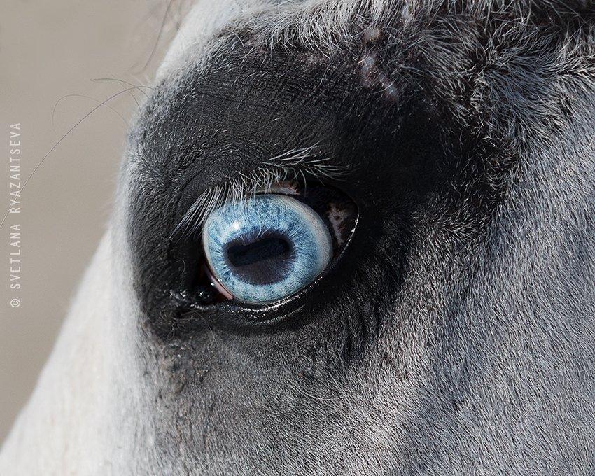 horse, head, detail, eye, blue, лошадь, глаза, взгляд, Svetlana Ryazantseva