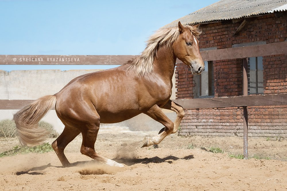 outdoor, dust, horse, stallion, red, rear legs, sand, farm, paddock, motion, bay, play, ranch, animal, rear, лошадь, лошади, свечка, рыжий, жеребец, Svetlana Ryazantseva