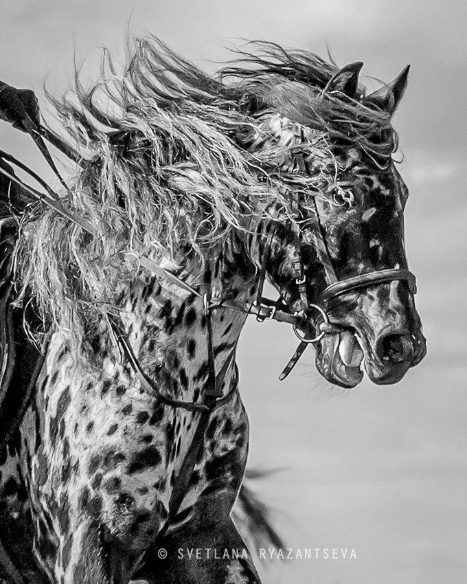 horse, appaloosa, motion, gallop, лошадь, лошади, Svetlana Ryazantseva