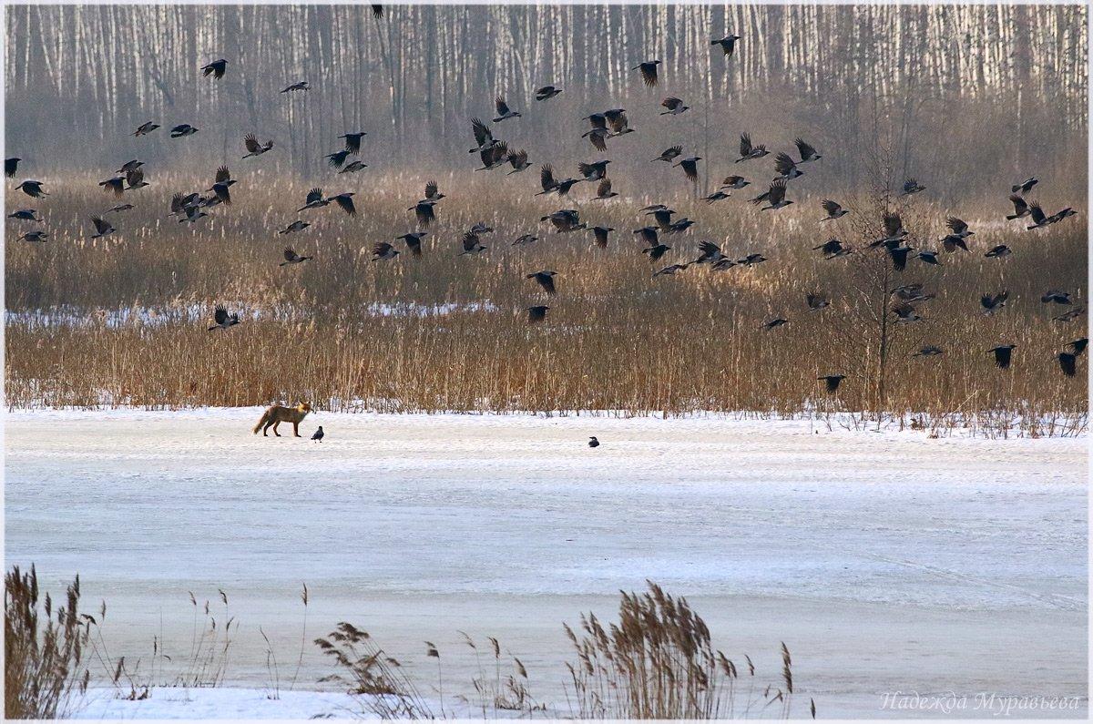 вороны, corvus cornix, обыкновенная лисица, vulpes vulpes,  весна, Надежда Муравьёва