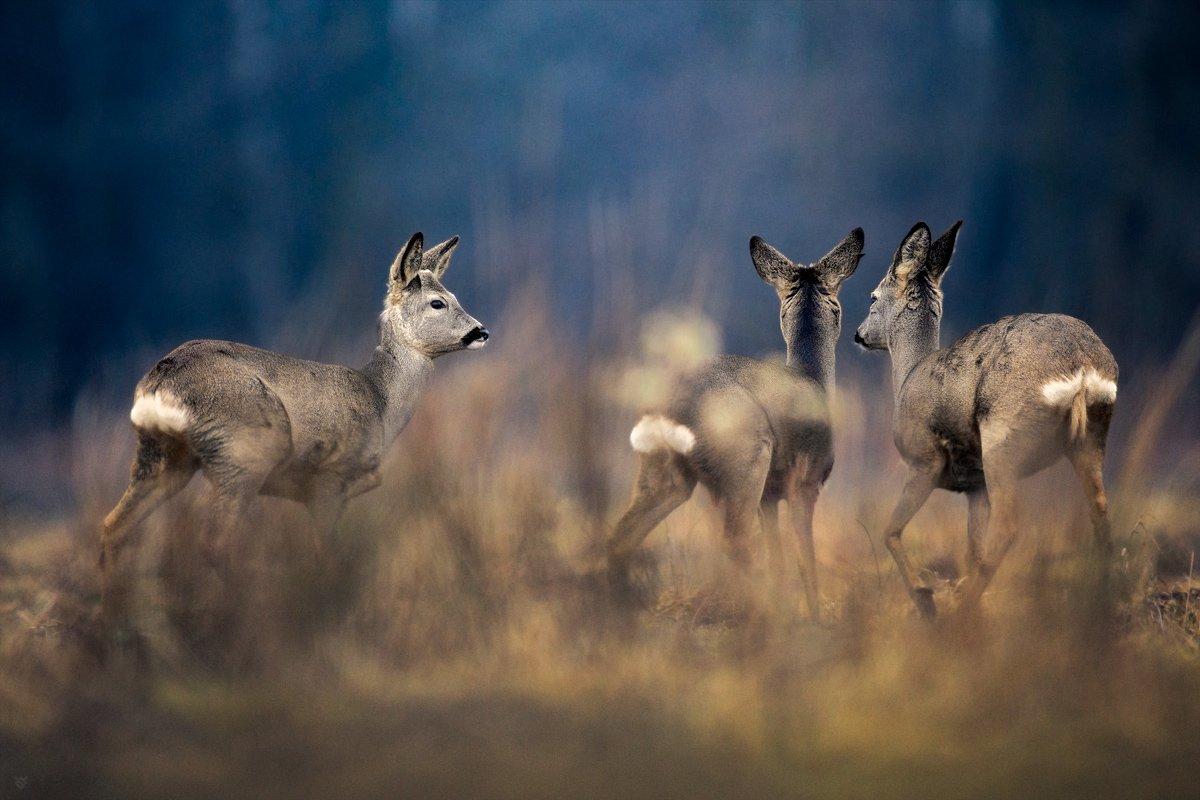 roe-deers, wildlife, field,trio, Wojciech Grzanka