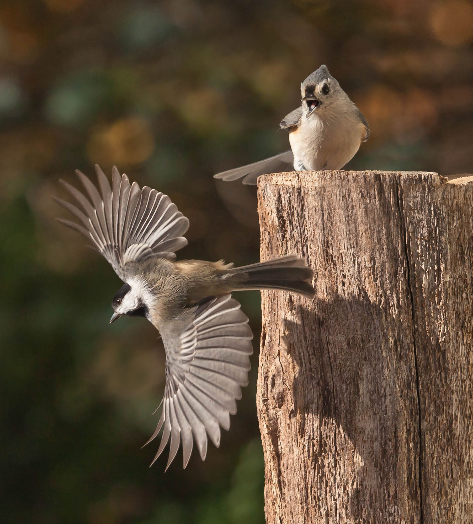 природа,птицы,животные,синички,фотоохота,, Антонина