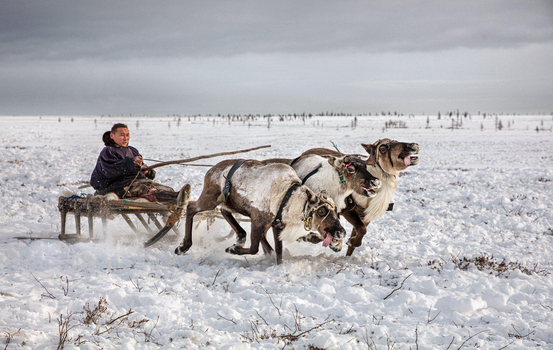 Ямал, олени, тундра, Алексей Сулоев