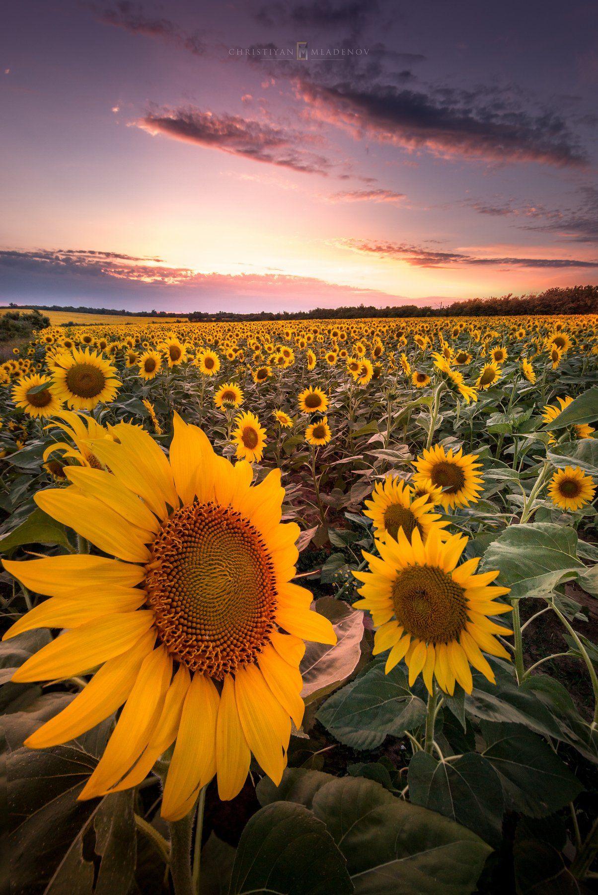 landscape, sunflowers, sunset, summer, nature, colors, sky, clouds, field, calm, light, magic hour, golden hour, Кристиян Младенов