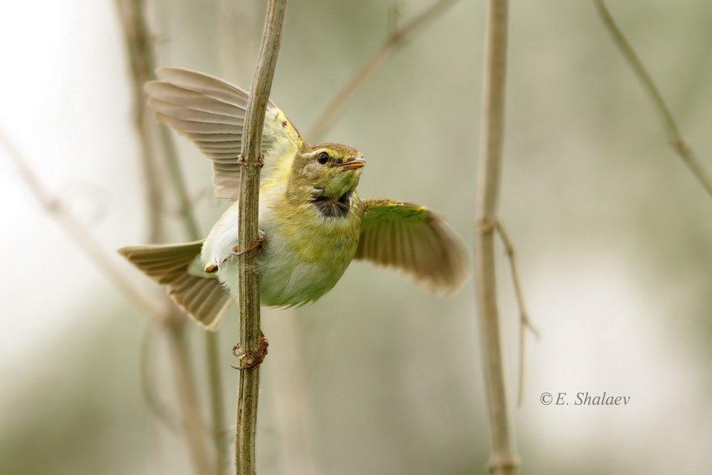 birds,phylloscopus trochilus,willow warbler,пеночка,пеночка-весничка,птица,птицы,фотоохота, Евгений